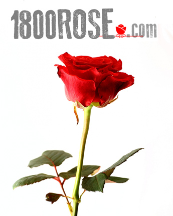 Single Red Rose in USA NE, 1800Rose.com