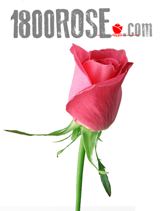Single Hot Pink Rose in USA NE, 1800Rose.com