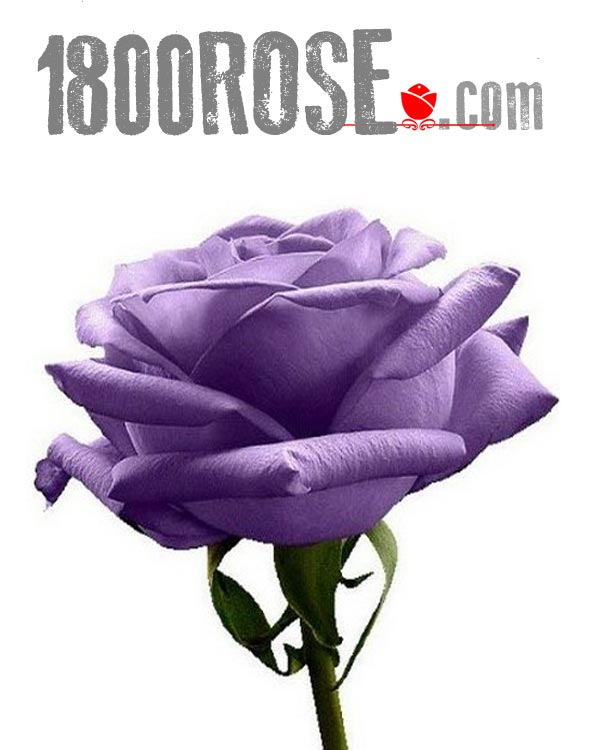 Single Purple Rose in USA NE, 1800Rose.com