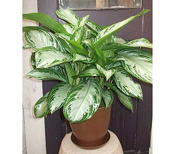 Medium Chinese Evergreen Plant in West Los Angeles CA, Westwood Flower Garden