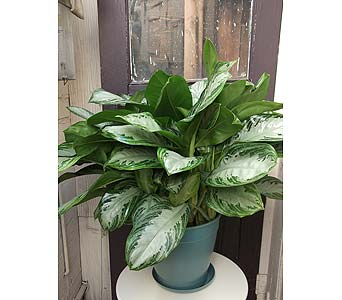 Large Chinese Evergreen Plant in West Los Angeles CA, Westwood Flower Garden