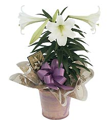 Easter lily in Lower Sackville NS, 4 Seasons Florist