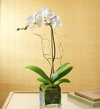 Elegant Orchid in Camp Hill and Harrisburg PA, Pealers Flowers
