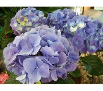 HYDRANGEA in Claremont NH, Colonial Florist