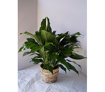 Peace Lily (small) in Muskegon MI, Wasserman's Flower Shop