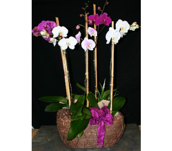 Splendid orchid garden in Wellington FL, Wellington Florist