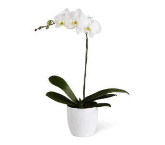White Orchid in Toronto ON, The Flower Nook