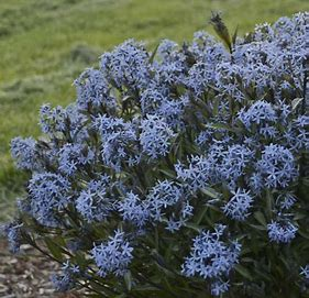 6in Pot:  Amsonia Blue Star Storm Cloud in Waukegan IL, Larsen Florist