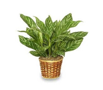 Chinese Evergreen in Winston Salem NC, Sherwood Flower Shop, Inc.