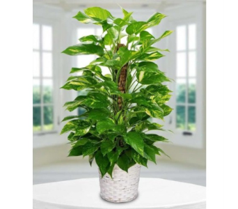 Pothos Plant in Winston Salem NC, Sherwood Flower Shop, Inc.