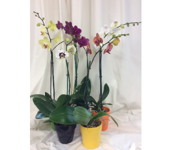 Opulent Orchid Plant in Medfield MA, Lovell's Flowers, Greenhouse & Nursery