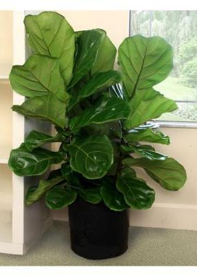 Fiddle Leaf Fig Plant in Fond Du Lac WI, Haentze Floral Co