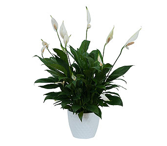 Peace Lily Plant in White Ceramic Container in Blue Springs MO, Village Gardens