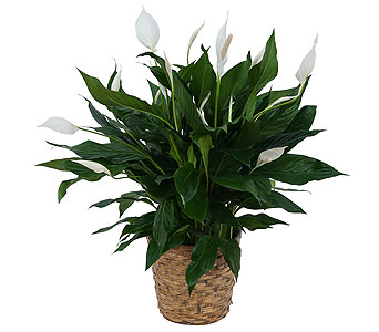 Peace Lily Plant in Basket in Durham NC, Angel Roses Florist