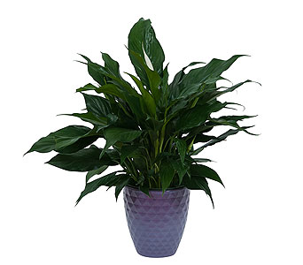 Peace Lily Plant in Ceramic Container in Durham NC, Angel Roses Florist