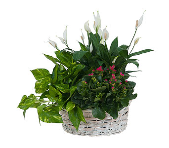 Living Garden Plant Basket in Amherst NY, The Trillium's Courtyard Florist