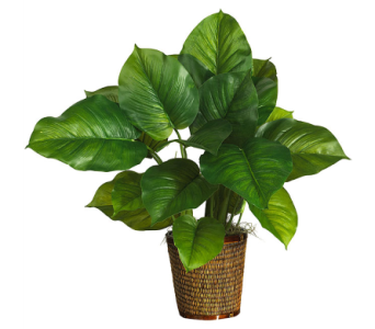 Philodendron in Winston Salem NC, Sherwood Flower Shop, Inc.