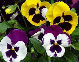 Pansies in Fond Du Lac WI, Haentze Floral Co