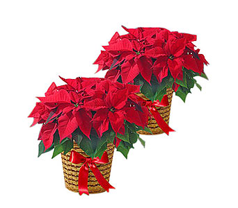 Set of Two Poinsettias