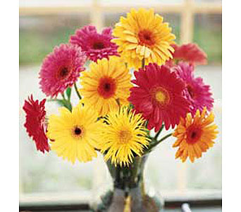 One Dozen Gerbera Daisies Arrangement