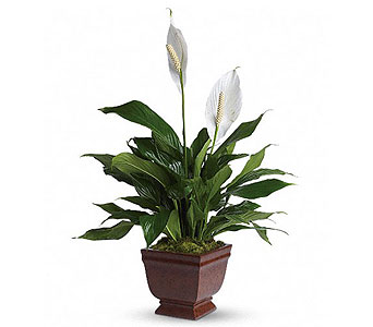 Lovely Spathiphyllum