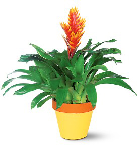 Potted Bromeliad - Small