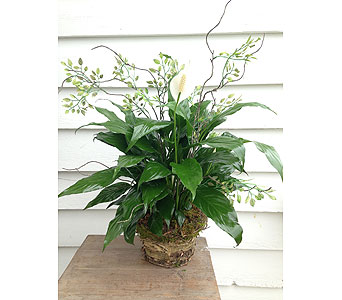 Rustic 4 Inch Peace Lily in Hales Corners WI, Barb's Green House Florist