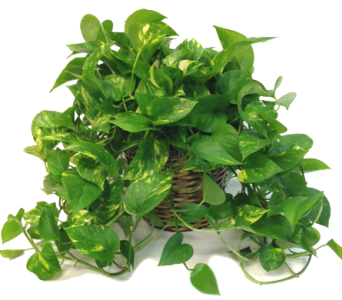 Pothos in Moorhead MN, Country Greenery