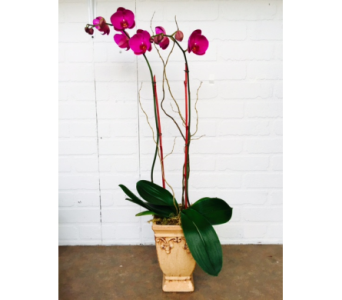 Orchid Plant in Redwood City CA, Redwood City Florist