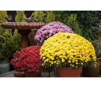 Fall Garden Mums in New Paltz NY, The Colonial Flower Shop