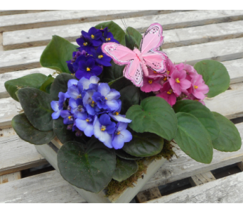 African Violet Trio in Skowhegan ME, Boynton's Greenhouses, Inc.