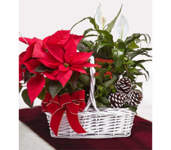 Poinsettia Garden Basket in Indianapolis IN, George Thomas Florist