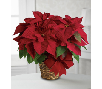 Red Poinsettia Plant in Indianapolis IN, George Thomas Florist