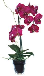 Purple Phalaenopsis Orchid in Guelph ON, Patti's Flower Boutique
