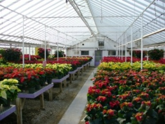 Poinsettia Greenhouse in Fond Du Lac WI, Haentze Floral Co