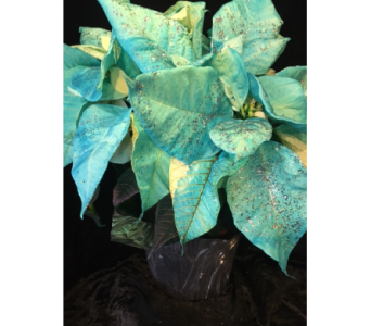 turquoise sparkle Poinsettia in Bismarck ND, Dutch Mill Florist, Inc.