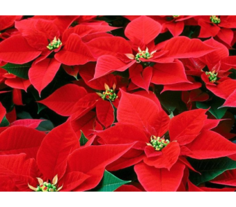 Red Poinsettias 8�