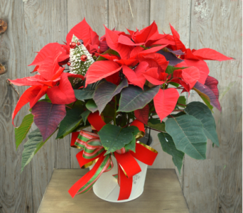 Red Poinsettia Dressed in Utica NY, Chester's Flower Shop And Greenhouses
