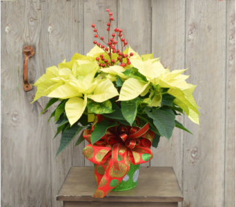 White Poinsettia Dressed in Utica NY, Chester's Flower Shop And Greenhouses