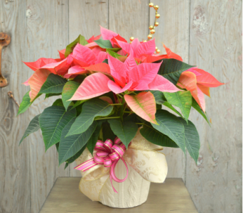 Pink Poinsettia Dressed in Utica NY, Chester's Flower Shop And Greenhouses