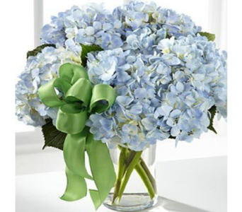 Summer Dreams Hydrangea in Indianapolis IN, George Thomas Florist