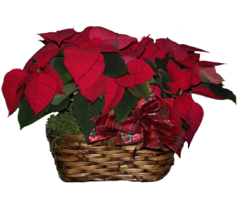 Double Red Poinsettia Basket in Wading River NY, Forte's Wading River Florist