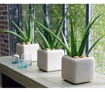 Aloe Vera-Feng Shui Plant in Toronto ON, Simply Flowers