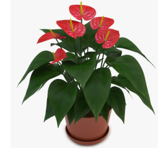 Red Anthurium Plant in Clearwater FL, Hassell Florist