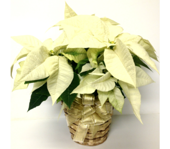 White Poinsettia - 4 Sizes Available in Wyoming MI, Wyoming Stuyvesant Floral
