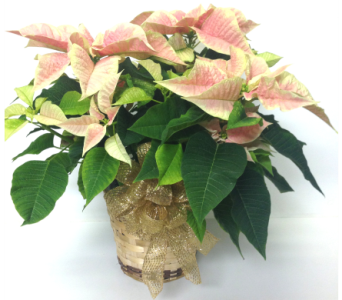 Marble Two-Tone Poinsettia - 2 Sizes Available in Wyoming MI, Wyoming Stuyvesant Floral