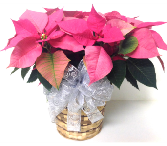 Pink Poinsettia - 4 Sizes Available in Wyoming MI, Wyoming Stuyvesant Floral
