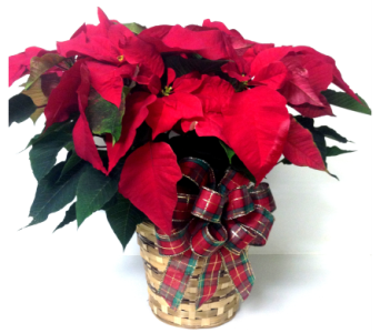 Red Poinsettia - 4 Sizes Available in Wyoming MI, Wyoming Stuyvesant Floral