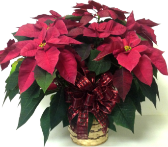 Burgundy Poinsettia in Wyoming MI, Wyoming Stuyvesant Floral