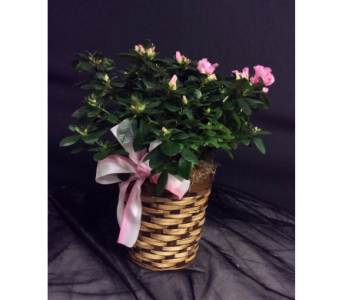 Pink Azalea Plant in Oakland CA, J. Miller Flowers and Gifts